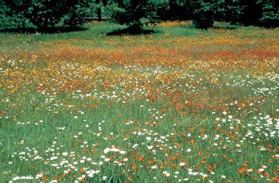 Campo de florecillas