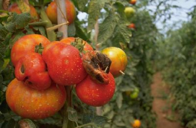 agricultura tomates